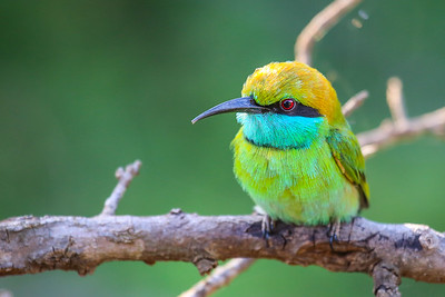 Little Green Bee-eater (Merops orientalis)