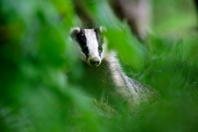 An inquisitive Badger photographed from a hide in Dumfries, Scotland.