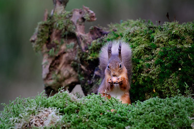 An inquisitive Red Squirrel photographed from a hide in Dumfries, Scotland.