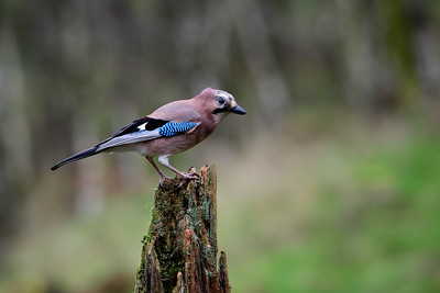 A Jay drops by the woodland jide and poses briefly enough for this image. Photographed from a hide in Dumfries Scotland.