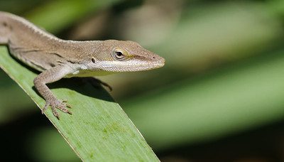 Anole on a leaf