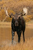 Bull Moose on Two Ocean Lake