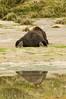 Brown Bear Rear View