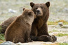 Brown Bear Affection