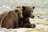 Brown Bears on Watch