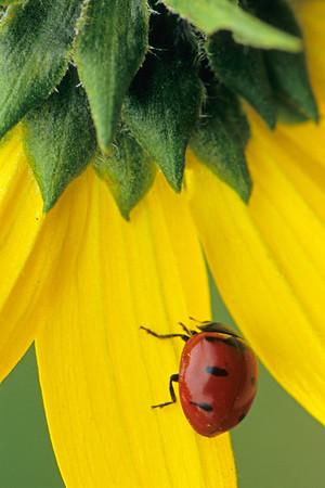 Ladybug on Sunflower