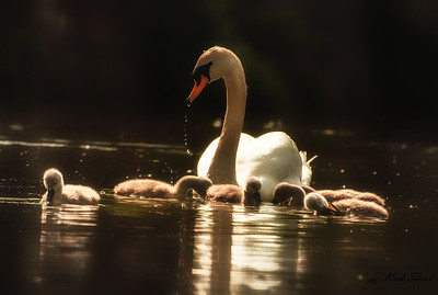 Swan with signets