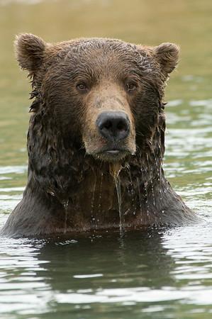 Brown Bear Wading