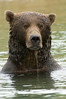 Brown Bear Wading
