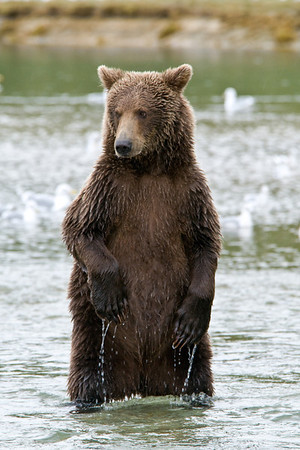 Brown Bear Dance