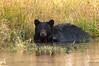 Black Bear Bathing