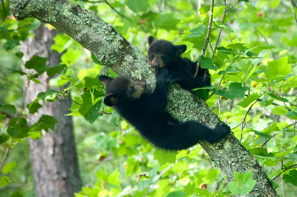 Black Bear Cubs hanging in tree