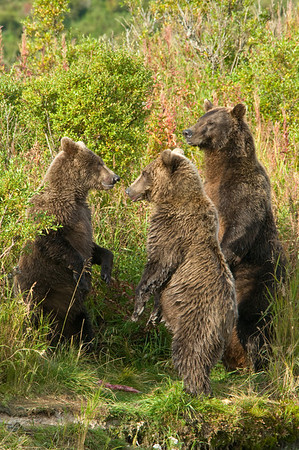 Brown Bear Huddle