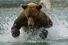 Brown Bear Attacking Salmon