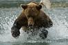Brown Bear Attacking Salmon