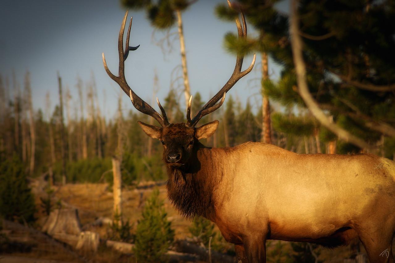 Mighty Elk