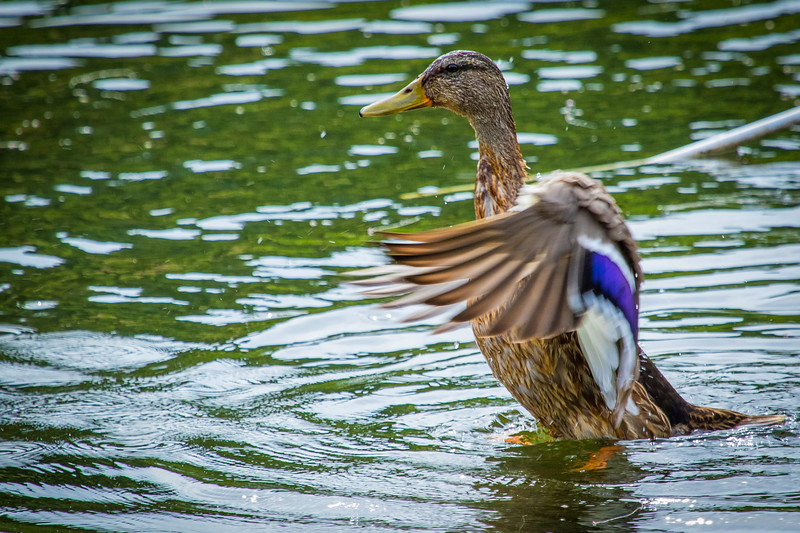 duck flapping