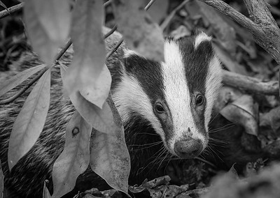 Foraging Badger