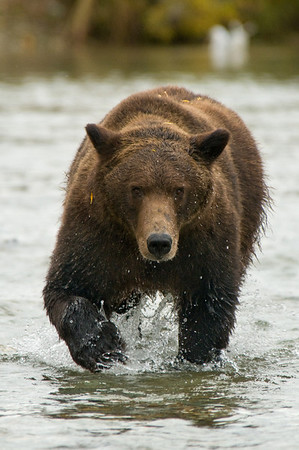 Brown Bear on Salmon Hunt