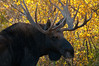Bull Moose Portrait