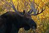 Bull Moose Portrait