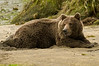 Chillin' Brown Bear