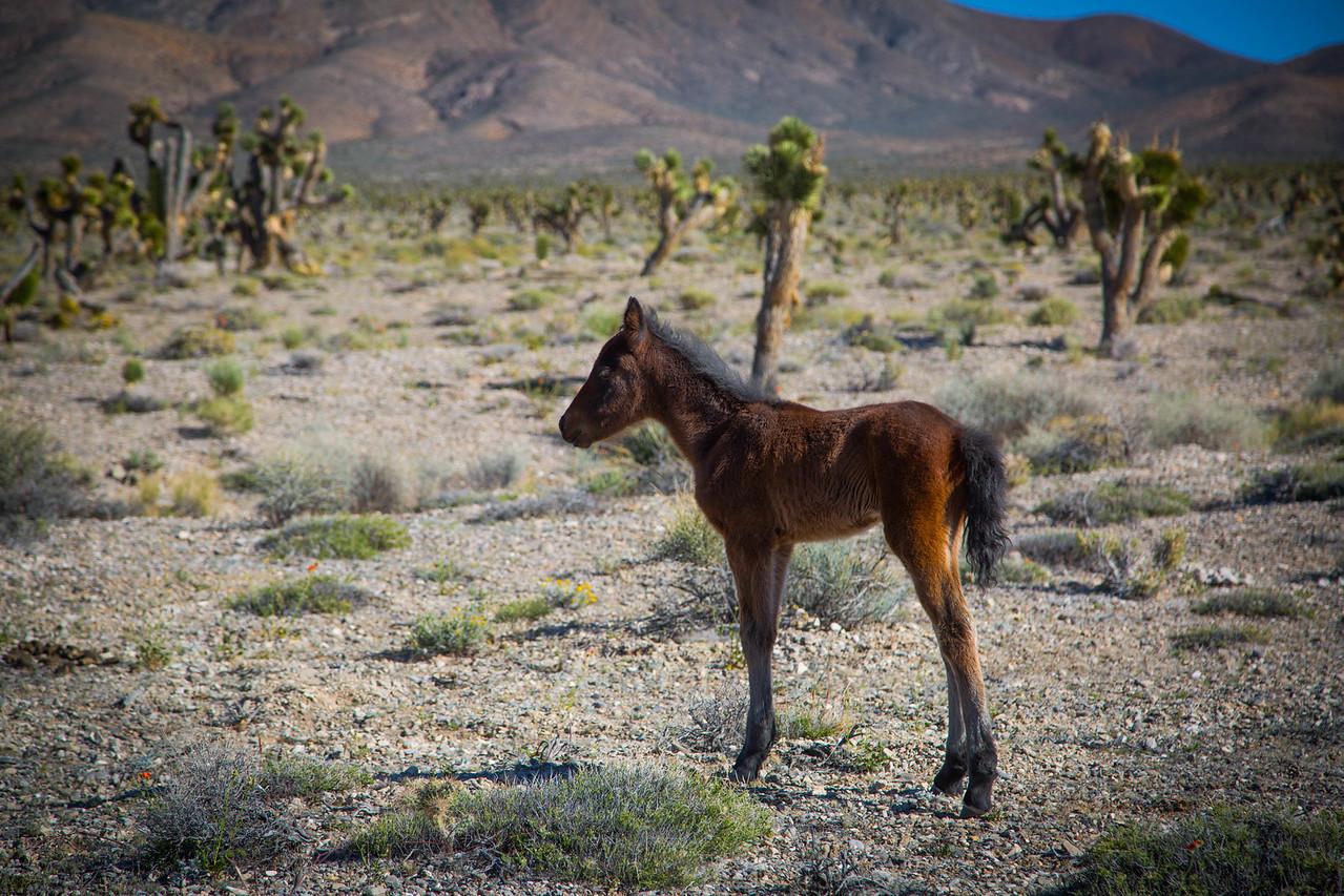 Baby wild horse
