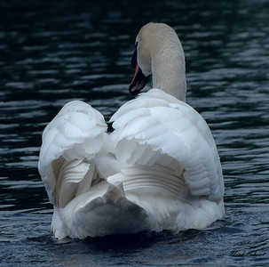 Swan  on th eriver ancholme