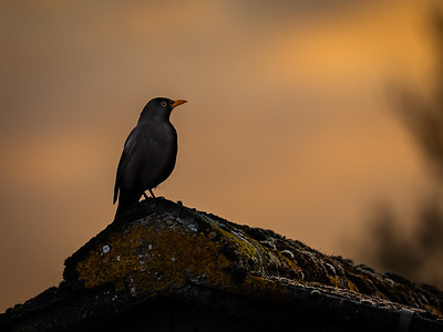 Ready for the evening chorus_