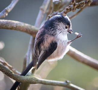 Long Tail Tit Feeding