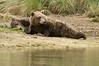 Sunbathing Brown Bear