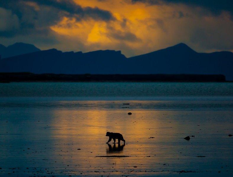 Grizzly bear walks along tidal flats at sunset near McNeil River, Alaska