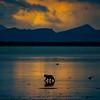 Grizzly bear walks along tidal flats at sunset near McNeil River, Alaska