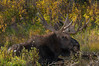 Bull Moose along Snake River