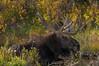 Bull Moose along Snake River