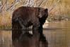Black Bear in Pond