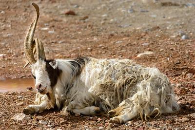 Weird Goat