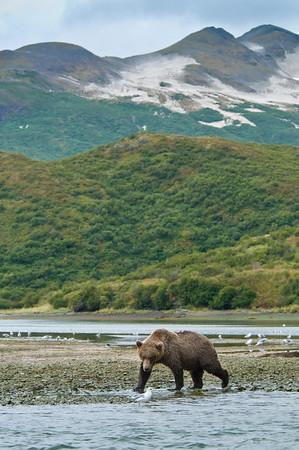 Brown Bear on Silver Salmon Run