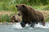 Brown Bear Charge