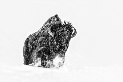 Bison Plowing Through