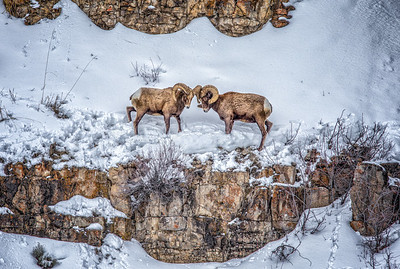 Big Horn Sheep Dueling