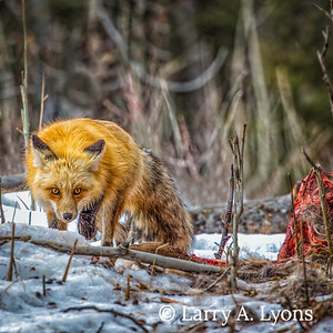 Fox  Scavenging