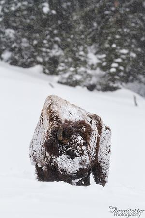 Snow Faced