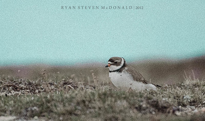 Semipalmated Plover - Wapusk National Park, Manitoba - June 2012
