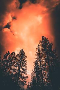 Pine Trees, Bass Lake, CA