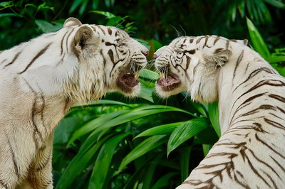 White Tigers at the Singapore Zoo.