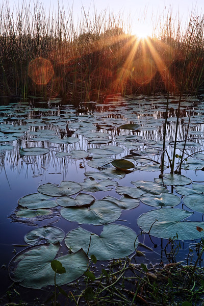 Sunrise over Lily Pads