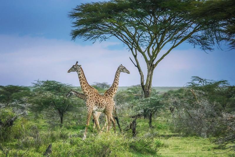 Giraffes Enjoying the Day