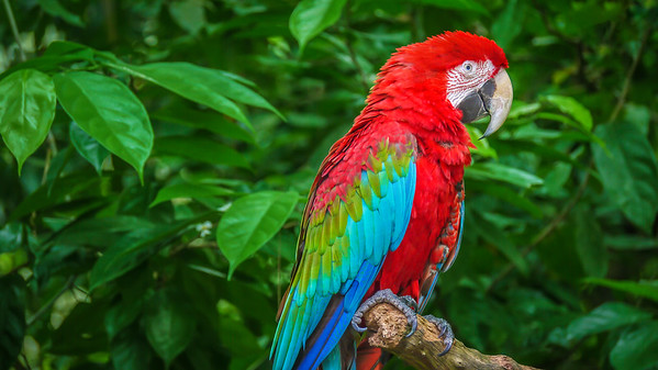 Portrait of a beautiful red-and-green macaw (Latin - Ara chloropterus), a large parrot native to central and South America, sitting on a wooden perch in a jungle setting.