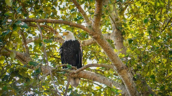 Low angle view of an American bald eagle (Haliaeetus leucocephalus) perching on a tree branch, surrounded by foliage